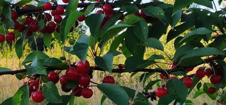 Stage taille douce et conduite des arbres fruitiers à noyaux le 16 février 2020