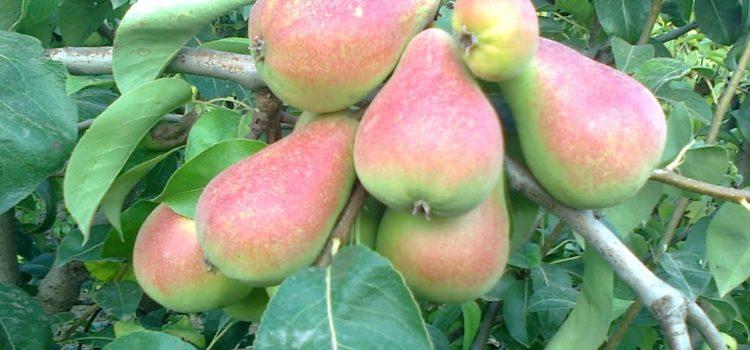 Stage taille douce et conduite des arbres fruitiers à pépins le 23 février 2020